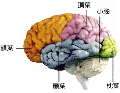 大腦-記憶-重複
